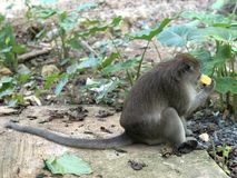 Macaque eats holding something in his hands and eats food while sitting in the Park. Macaque eats holding something in his hands and eats food while sitting royalty free stock image