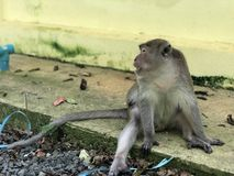 Macaque eats holding something in his hands and eats food while sitting in the Park. Macaque eats holding something in his hands and eats food while sitting royalty free stock photos
