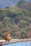 Macaque em Hong Kong Foto de Stock