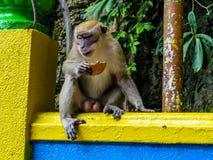 Macaque en las cuevas de Batu, Malasia Imagen de archivo