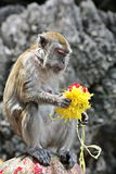 Macaque explorant une fleur indoue Photo libre de droits