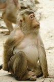 Macaque fêmea Imagens de Stock
