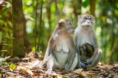Macaque för två kvinnlig med en behandla som ett barn Royaltyfri Bild
