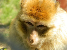 Macaque face closeup, amazing eyes. The 23 species of macaques are widespread over Earth. Macaques are of some interest to human researchers for their intricate Royalty Free Stock Photo
