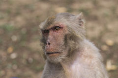 Macaque face demeanor Close. China's jilin province changchun wildlife park macaques, their shape and expression is the most close to human in all kinds of Stock Image