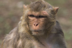 Macaque face demeanor Close. China's jilin province changchun wildlife park macaques, their shape and expression is the most close to human in all kinds of Stock Photos