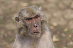 Macaque face demeanor Close. China's jilin province changchun wildlife park macaques, their shape and expression is the most close to human in all kinds of Royalty Free Stock Image