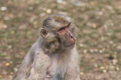 Macaque face demeanor Close. China's jilin province changchun wildlife park macaques, their shape and expression is the most close to human in all kinds of Royalty Free Stock Photo