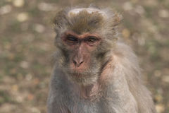 Macaque face demeanor Close. China's jilin province changchun wildlife park macaques, their shape and expression is the most close to human in all kinds of Stock Photography