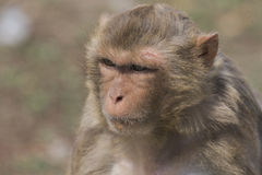 Macaque face demeanor Close. China's jilin province changchun wildlife park macaques, their shape and expression is the most close to human in all kinds of Royalty Free Stock Photos