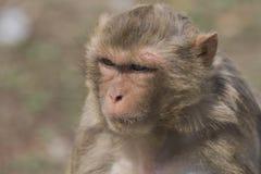 Macaque face demeanor Close Royalty Free Stock Photos