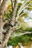 Macaque-Fallhammer Lizenzfreies Stockfoto
