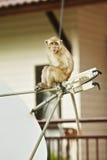 Macaque-Fallhammer Lizenzfreie Stockfotos