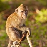 Macaque-Fallhammer Stockfoto