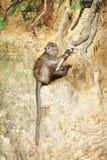 Macaque-Fallhammer Lizenzfreies Stockbild