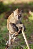 Macaque-Fallhammer Lizenzfreie Stockfotografie