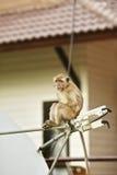 Macaque-Fallhammer Stockbilder