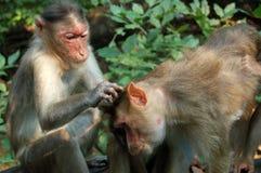 Macaque-Fallhammersammelnflöhe Stockfotos