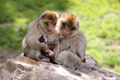 Macaque family Stock Image