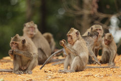 Macaque family. Eating food in wild area, thailand Stock Image