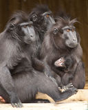 Macaque family Royalty Free Stock Photography