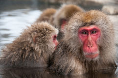 Macaque family in a hot spring, Nagano Prefecture, Japan. A group of Japanese macaques enjoy the hot spring water at the Jigokudani Monkey Park Stock Image