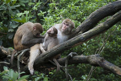 Macaque family on treetop Royalty Free Stock Photos