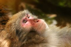 Macaque, Fauna, Mammal, Primate Royalty Free Stock Images