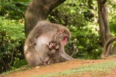 Macaque feeding baby monkey Stock Photography