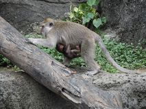 Macaque female protecting her baby who clings to her belly, Bali island Indonesia stock photos