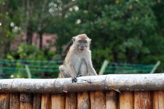 Macaque on the fence Stock Image