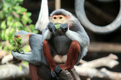 Macaque five color Royalty Free Stock Photos