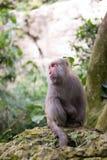 Macaque Formosan da rocha foto de stock royalty free