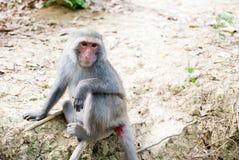 Macaque Formosan da rocha fotos de stock