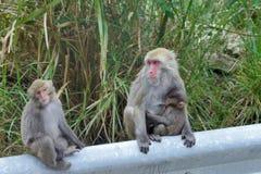 Macaque formosan de roche Image stock