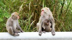 Macaque formosan de roche Photos libres de droits