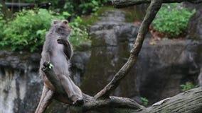 Macaque formosan de roche mangeant le légume sur le dessus l'arbre dans le zoo banque de vidéos
