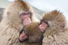 Macaque giapponese Immagini Stock