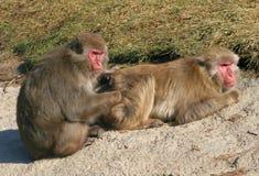 Macaque giapponese Fotografia Stock