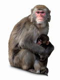 Macaque giapponese, fuscata del Macaca Fotografie Stock