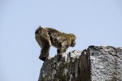 The Macaque, Gibraltar, Europe. The semi-wild Barbary Macaques, Gibraltar, Europe Royalty Free Stock Image