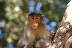 Macaque on guard. Male Rhesus macaque sits sentry for his troop in the fork of a high tree Royalty Free Stock Photos