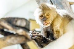 Macaque-gyckel Arkivfoto