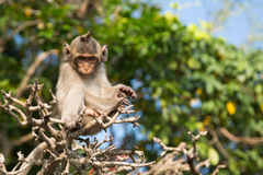 Macaque-having Royalty Free Stock Photography