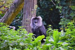 Macaque having a tail in a zoo... royalty free stock images