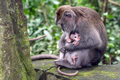 Macaque with her baby Stock Photos
