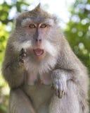 Macaque in het Aapbos, Ubud Stock Foto