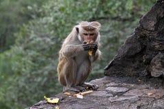Macaque het eten Stock Fotografie