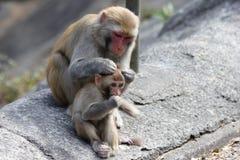 Macaque het Verzorgen Tijd royalty-vrije stock foto's