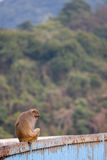 Macaque in Hong Kong Stockfoto